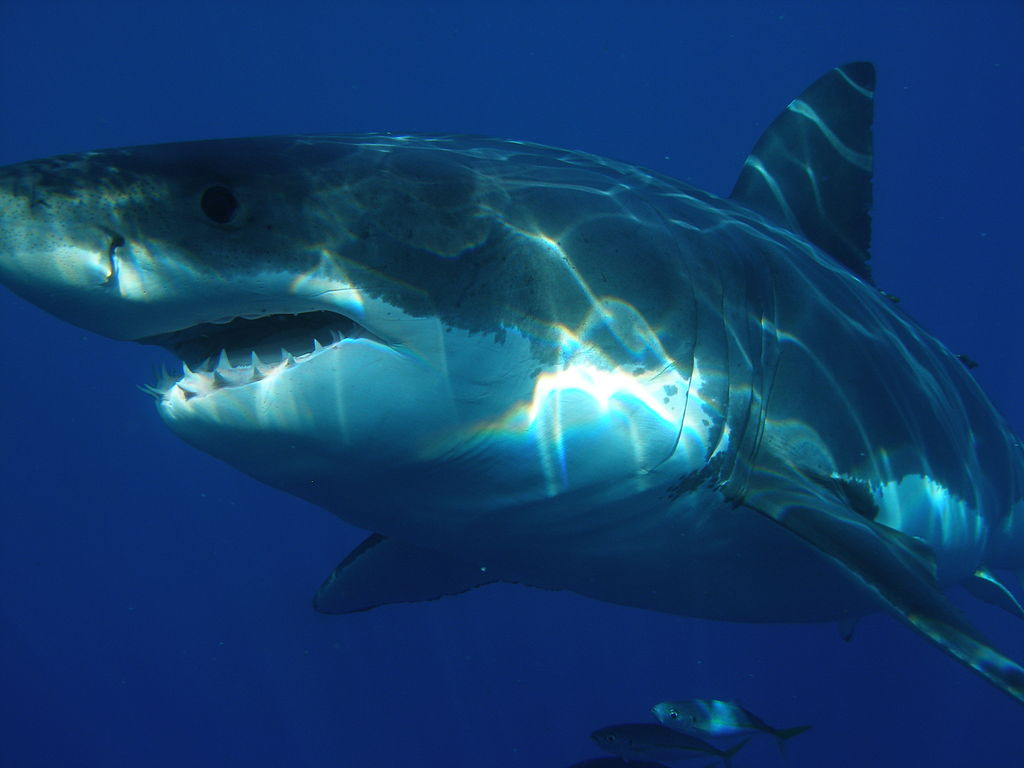 Sharks-World.com says great white sharks can grow up to 16 feet and weightaround1,500-2,400 pounds. Some have been known to weigh around 4,000 pounds but that isn't the norm. More people have been attacked by great white sharks than any other shark species. Locations where they are living have been identified and people are encouraged to stay away from them.